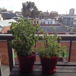 Balcony Gardening & Basil and Mint Pesto