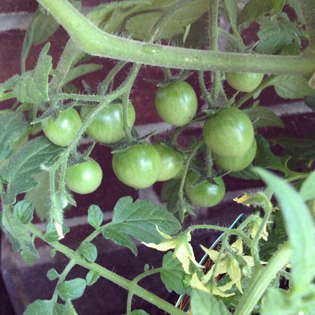 Ooh, my first little tomatoes on my plant! Can't wait until they ripen! Balcony gardening for the win! #growyourown #balconygarden #urbangarden #tomatoes #homegrown