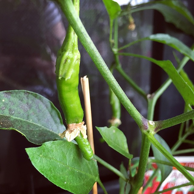 Tiny little chilli forming #balconygarden #growyourown #homegrown