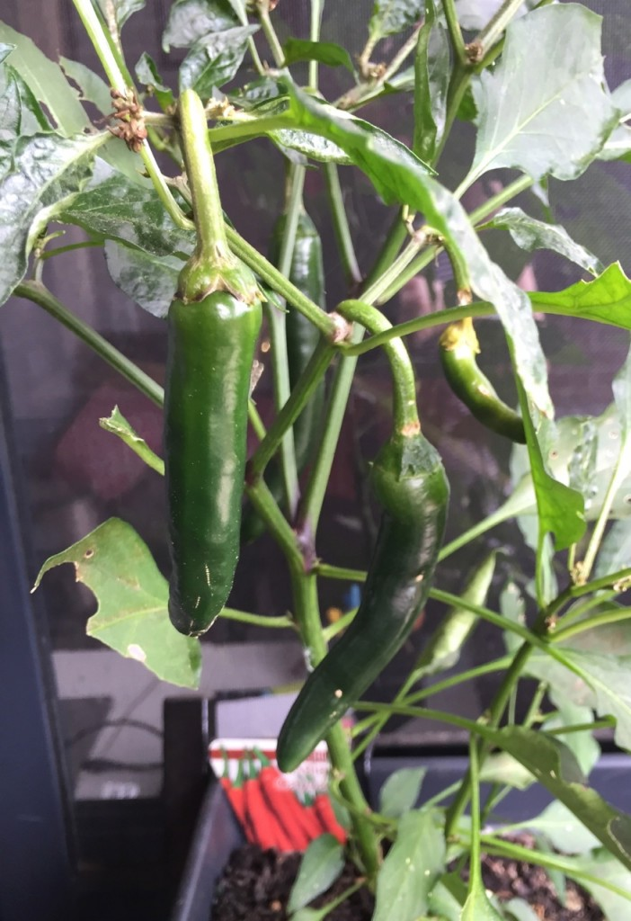 Balcony Gardening Update: December