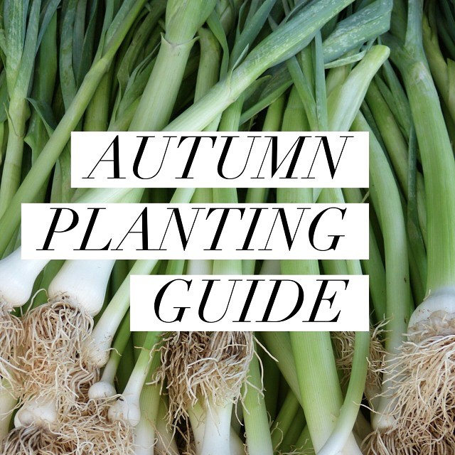It's time to dig up the Summer produce and replant for Autumn & today on I Spy Plum Pie I've got your Autumn planting guide - what to plant, where and with what! What are you looking forward to growing this season? #homegrown #urbangardening #autumn #balconygarden