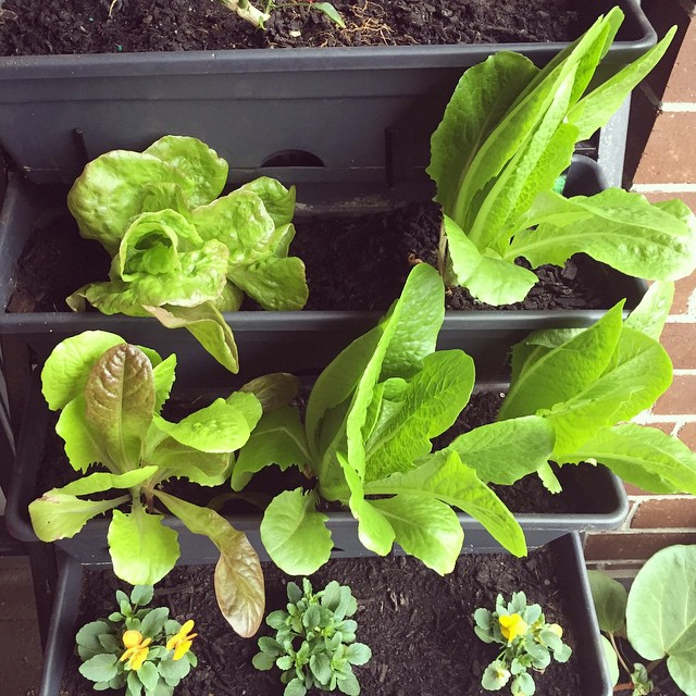 I think these lettuces need to be turned into a salad rather soon! #homegrown #balconygarden #urbangardening #lettuce
