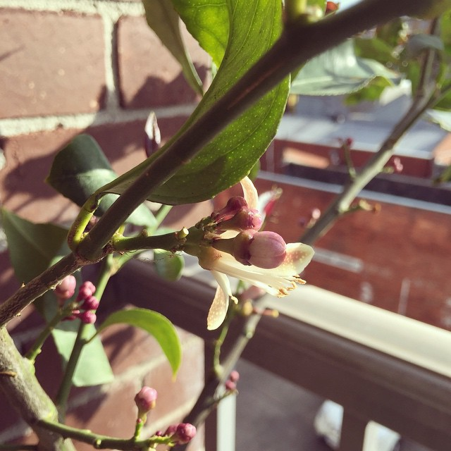 New growth. Nature is pretty wonderful #balconygarden #lemontree